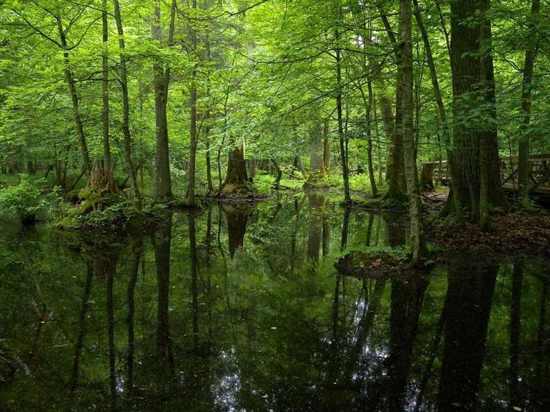 بیالوزا جنگلی در اروپا
