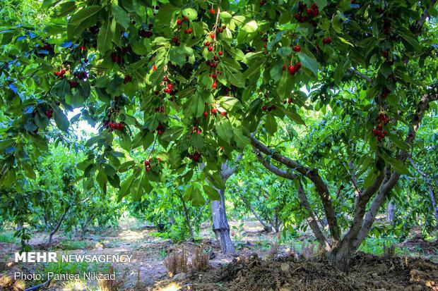 سهم باغات ایرانی از فناوری کشت بافت افزایش می یابد