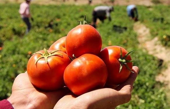 خرید حمایتی گوجه فرنگی از فردا در کرمان شروع می گردد