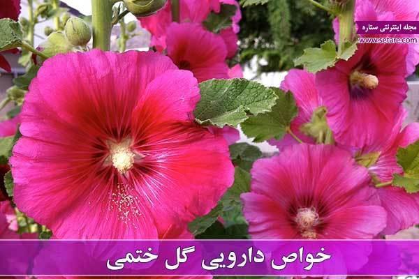 خواص گل ختمی؛ گیاهی با خاصیت ضد باکتریایی و ضد التهابی